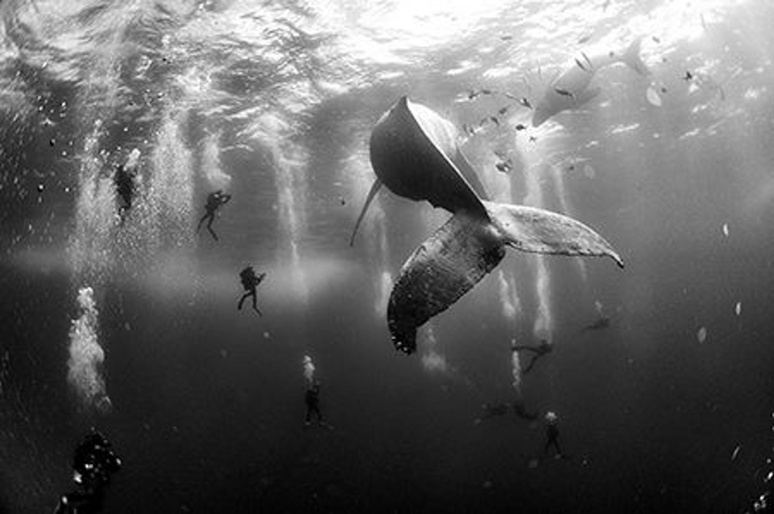 Whales in the ocean, surrounded by scuba divers.